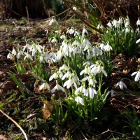 Snowdrops in the coppice.