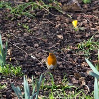 A robin among spring bulbs.