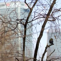 A great tit looks out towards Canary Wharf.