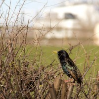 A European Starling singing from the hedge.