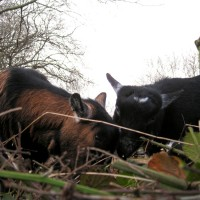 Pygmy goats make quick work of bramble cuttings.