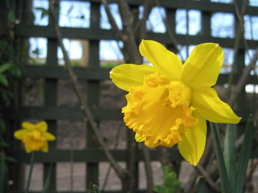 Daffodills are flowering across the farm.