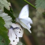 Breeding small white butterflies (Pieris rapae).