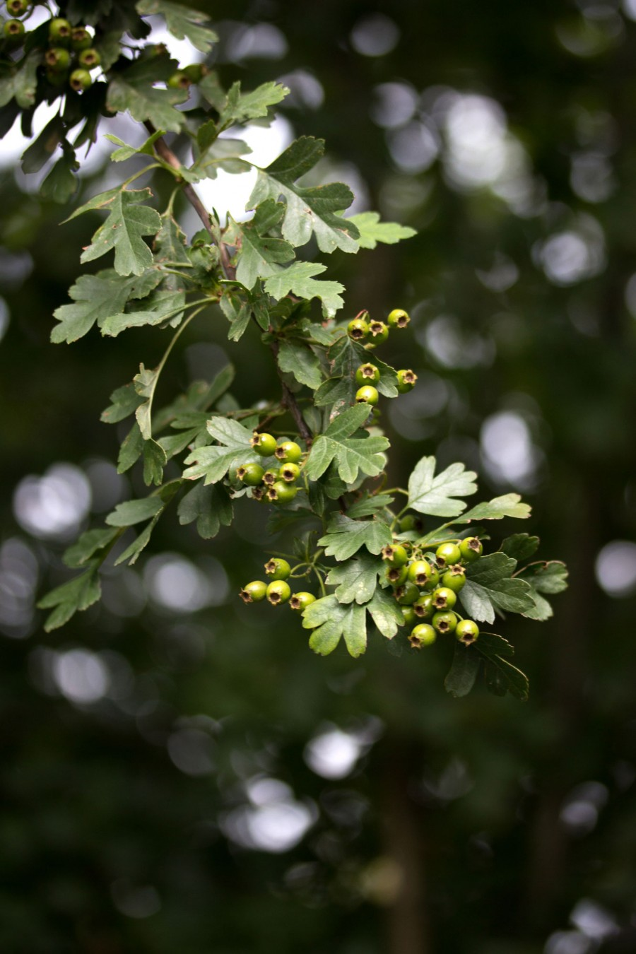 Hawthorn berries are developing around the farm.