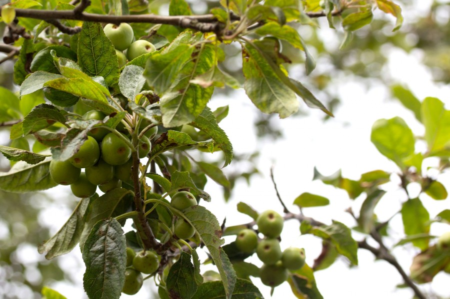 Crabapples are also starting to develop.