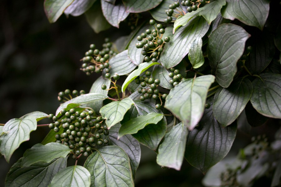 Dogwood berries forming.