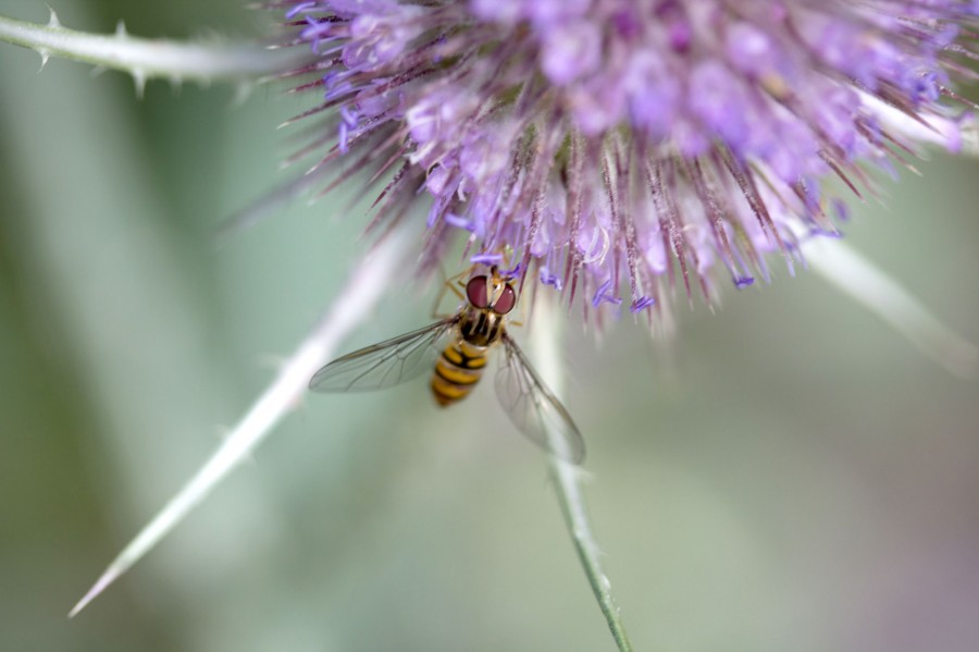Hoverflies of many species can be found on flowering plants. These bee and wasp mimics are harmless pollinators.