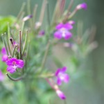 Great Willowherb (Epilobium hirsutum) in flower near the ponds.