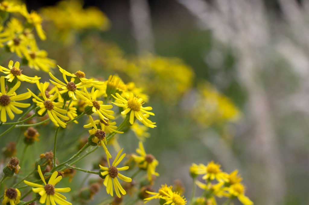 Ragwort in bloom.