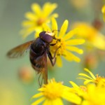 This large Volucella zonaria hoverfly mimics a hornet.