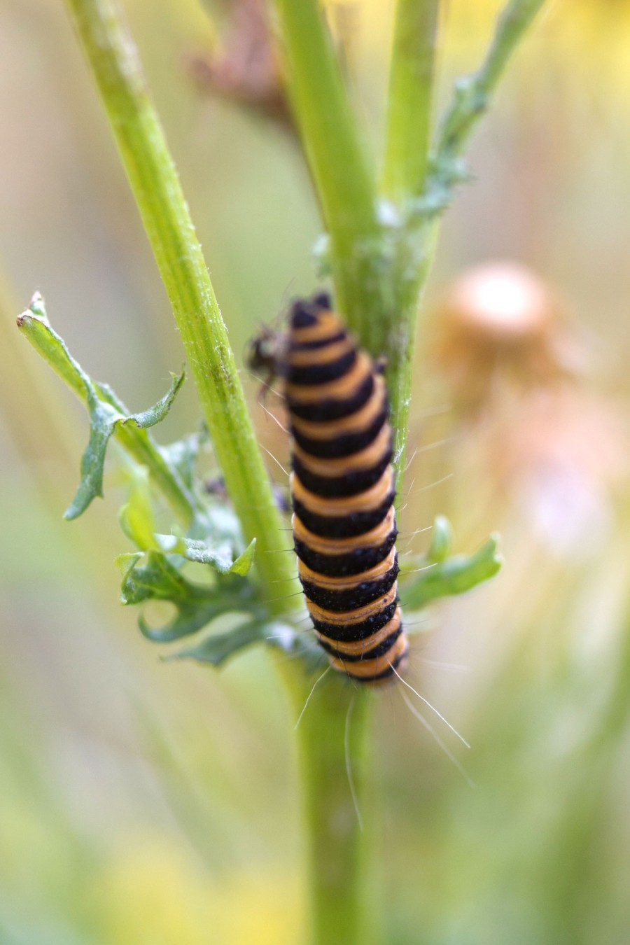 The keen eyed might spot caterpillars around the farm, like this larval Cinnabar moth.