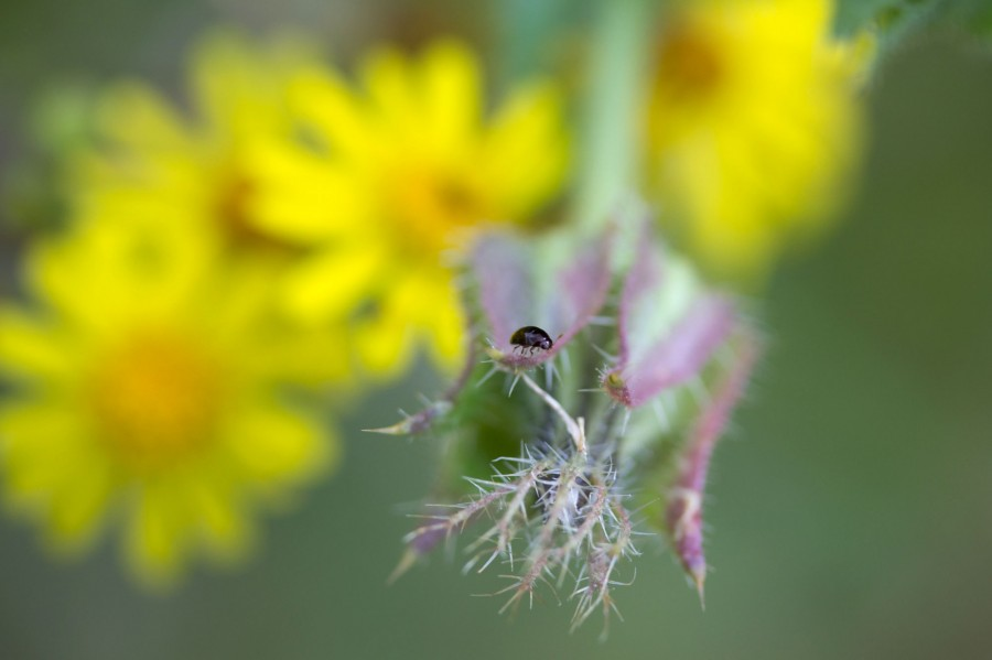 Flowers are also attractive to tiny insects, like this flea beetle.