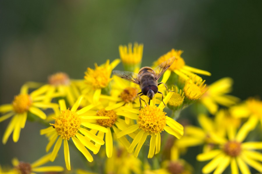 Hoverflies can be found on most remaining flowers.