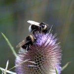 Bumblees foraging on Wild Teasel (Dipsacus fullonum).