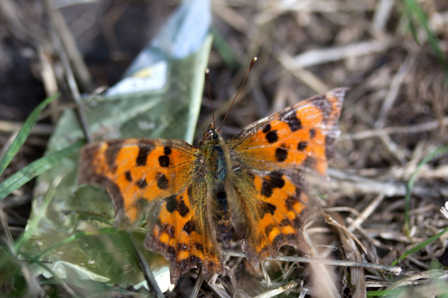 Comma butterflies (Polygonia c-album) flitted along the paths.
