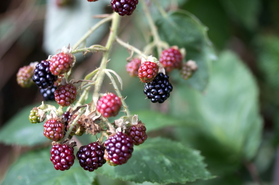 Blackberries are nearly ripe all across the farm.