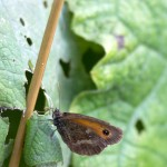 Gatekeeper (Pyronia tithonus).