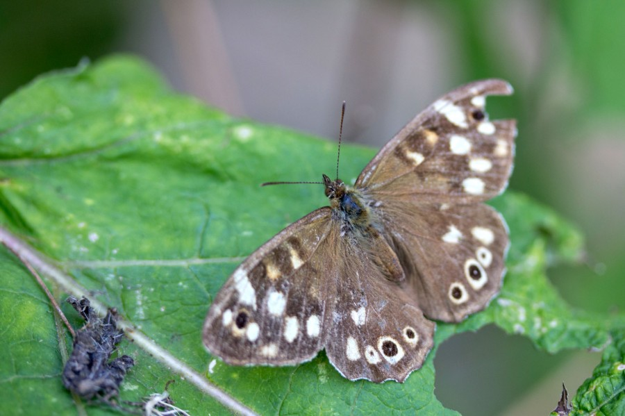 Speckled Wood butterfly (Pararge aegeria).