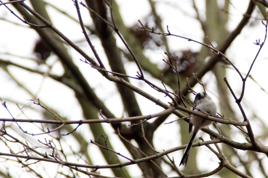 The long-tailed tit (Aegithalos caudatus) has a distinctive long tail and small round body,