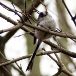The long-tailed tit (Aegithalos caudatus) has a distinctive long tail and small round body.