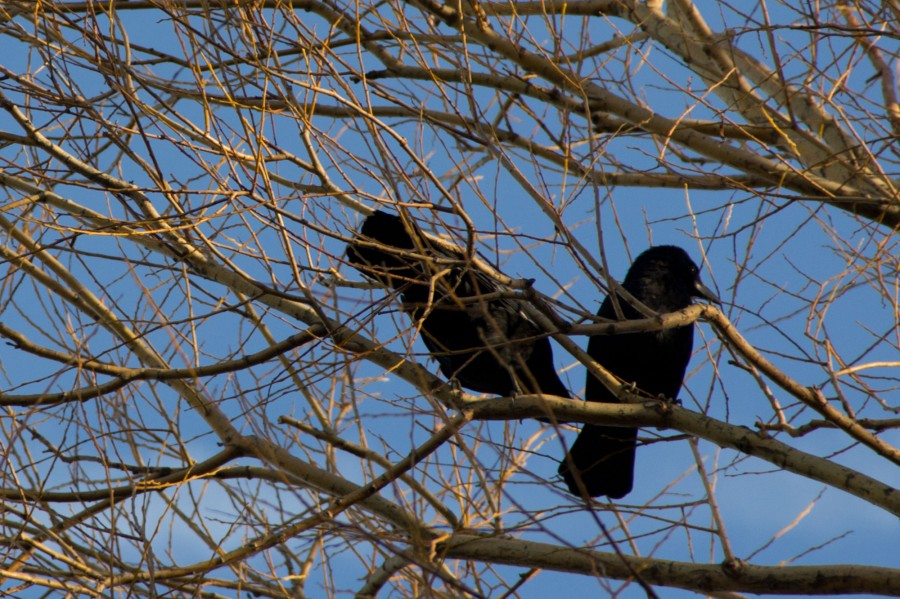 Carrion crows (Corvus corone) are highly intelligent birds.