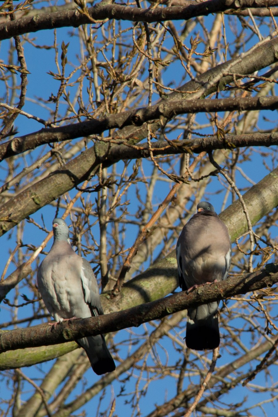 "A pair of wood pigeons (Columba palumbus). These birds often make a loud clattering noise when taking off, which gave them one of their folk names, ""clatter doves""."