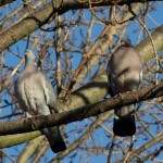 """A pair of wood pigeons (Columba palumbus). These birds often make a loud clattering noise when taking off, which gave them one of their folk names, """"clatter doves""""."""