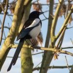 Magpies (Pica pica) are in the same family as crows, ravens and jays.