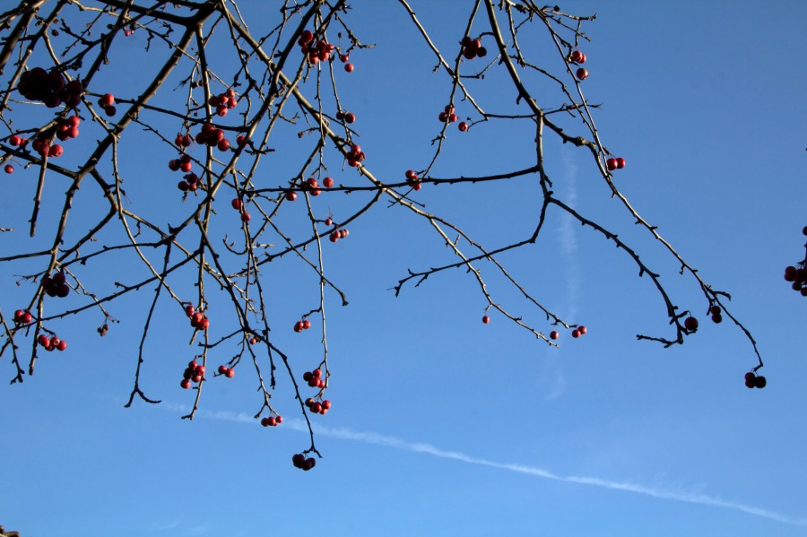 Crab apples, rose hips and seeds are among the few food natural sources of food during winter.