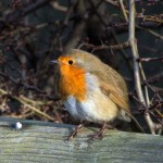 The robin (Erithacus rubecula) has a distinctive orange breast and can often be heard singing. These birds aggressively defend their territories around the farm.