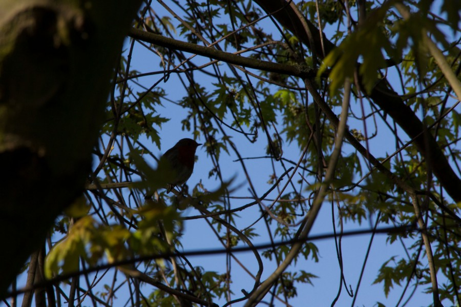 A robin (Erithacus rubecula) in silhouette.