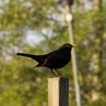 A male blackbird (Turdus merula).
