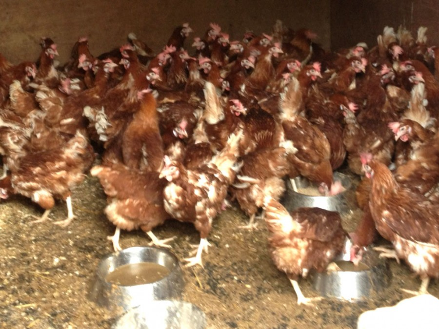 Our new hens are just a 6 of the 60,000 rescued by the British Hen Welfare Trust.
