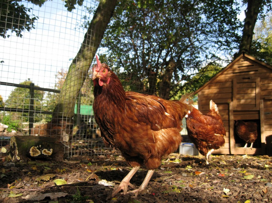 Our hens have put on weight and new feathers since their arrival.