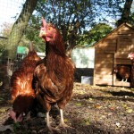 Hens enjoying the sunshine.