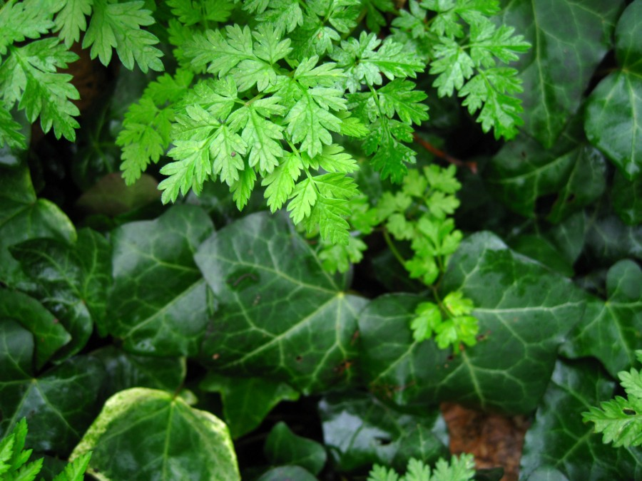Some plants like ivy are evergreen, while others like cow parsley have died back and are taking an early start.