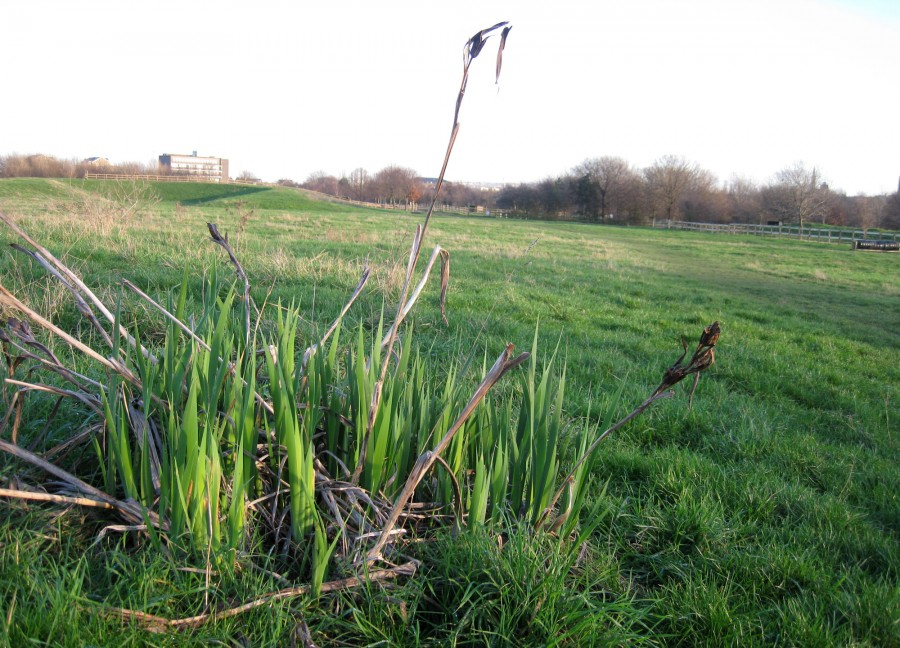 Irises showing signs of new growth ahead of the warmer seasons to come.