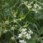 Cow parsley flowers and seeds.