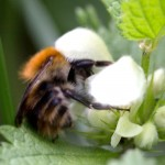 Common carder bee on white dead nettle.