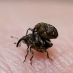 A closer look at the mating weevils.