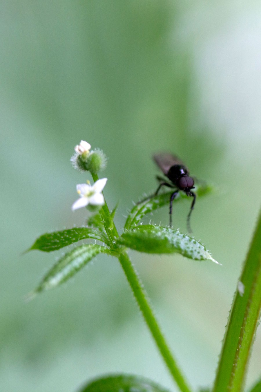 Fly on goose grass.