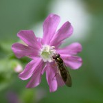 Hoverfly on red campion.
