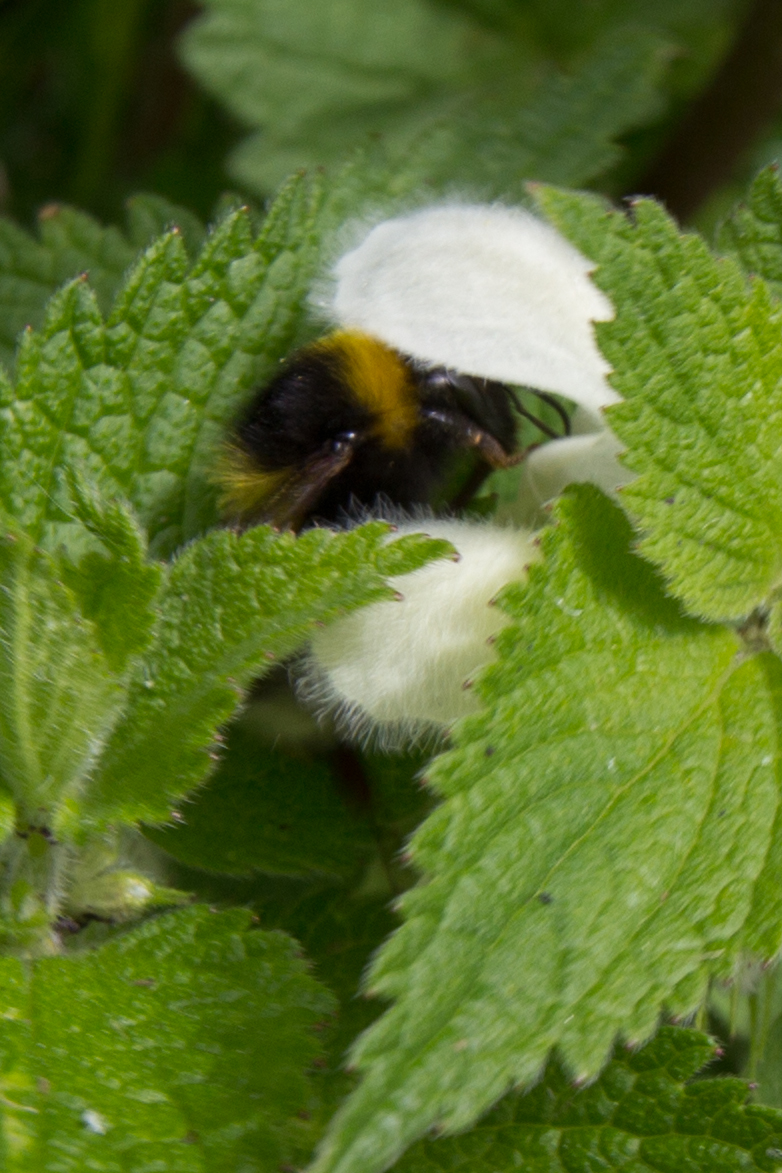 Buff-tailed bumblebee on white dead nettle.