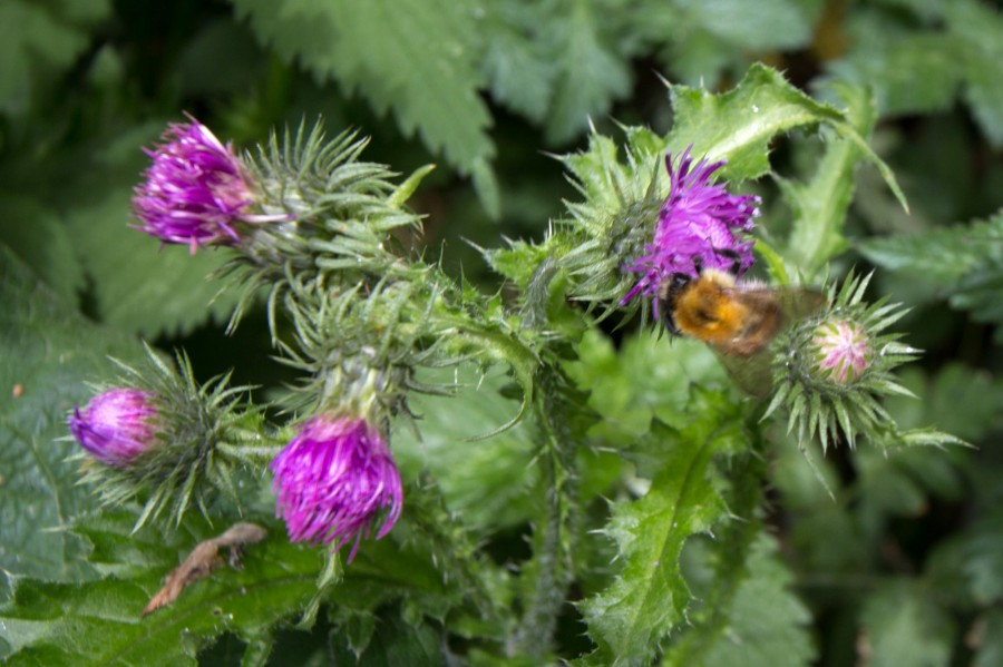 Common carder bee on thistle.