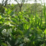 White dead-nettles have grown rapidly this month.