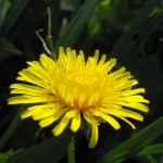 Early flowers like this dandelion provide food for pollinators including hoverflies, bees and butterflies.