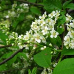 Bird cherry trees are among the latest of the cherries to blossom and have heavy sprigs of blooms.