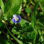 The Common Field Speedwell.