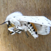 The White Ermine (Spilosoma lubricipeda) playing dead.
