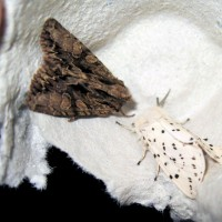 Dark Arches (Apamea monoglypha) and White Ermine (Spilosoma lubricipeda)